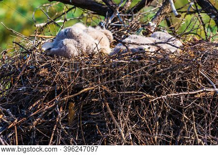 Nest Of Steppe Eagle Or Aquila Nipalensis With Small Nestlings.