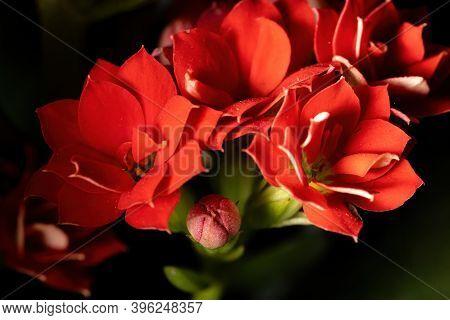 Flaming Katy Flower