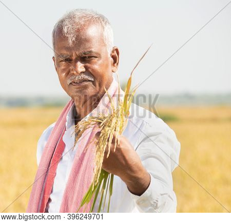 Smiling Indian Farmer In Hot Sunny Day Holding Paddy In Agriculture Field - Concept Of Bumper Crop D