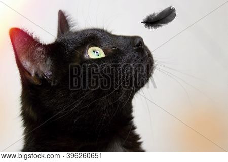 A Black Cat Looks At A Falling Black Feather.closeup Of A Black Cat`s Head. The Feather Falls On His