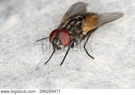 House Fly Of The Species Musca Domestica