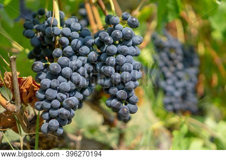 Bunches Of Fresh Dark Black Ripe Grape Fruit On Green Leaves And Brown Trunk In Winery Field Under S