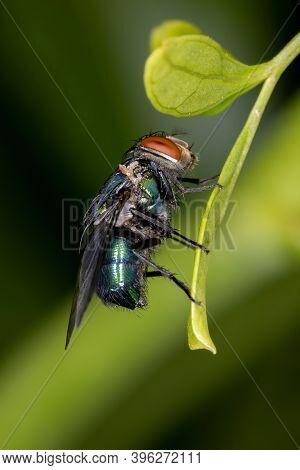 Oriental Latrine Fly Of The Species Chrysomya Megacephala