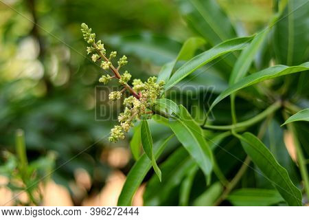 Close Up Of Mango Flowers In A Farm, A Branch Of Inflorescence Mango Flowers. Selective Focus Of Man