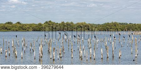 Flock Of Great Cormorant, Phalacrocorax Carbo, In The Ornithological Reserve Of Teich, Next To The A