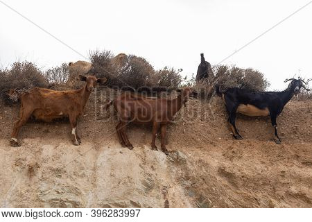 Goats In The Pasture Of Pasture In Mountain, Ios Island, Greece.