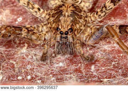 Wandering Spider Of The Genus Enoploctenus In Macro View