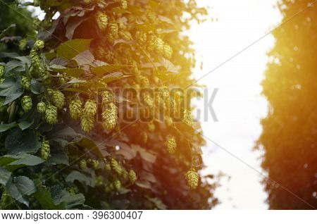 Beautiful Green Hop Plant, Hop Cones And Leaves, Beer Produce. Copy Space, Selective Focus