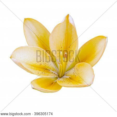 One Yellow Isolated Flower Lily On White Background. No Shadows