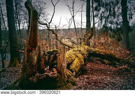 Broken Dead Tree In The Forest. Nature. Autumn.