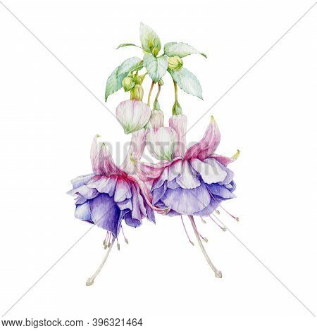 Fuchsia Tender Lilac Flowers With Buds And Green Leaves Watercolor Illustration. Hand Painted Botani