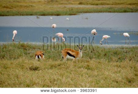 Thomson'S Gazelles And Pink Flamingos Into The Ngorongoro
