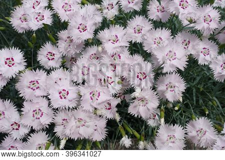 Pastel Pink Flowers Of Dianthus Deltoides In May