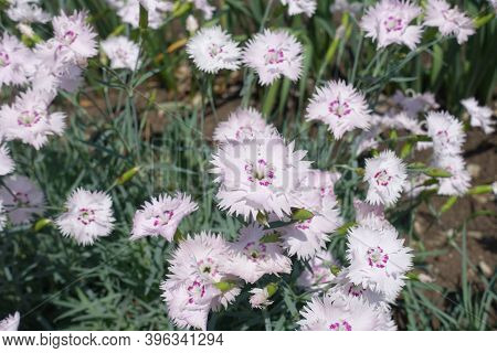 Pinkish White Flowers Of Dianthus Deltoides In May