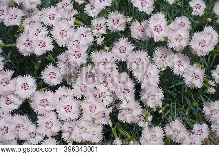 View Of Light Pink Flowers Of Dianthus Deltoides From Above