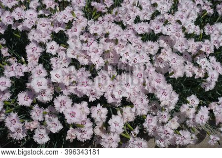 Whole Lot Of Light Pink Flowers Of Dianthus Deltoides In May