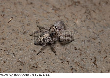 Adult Female Jumping Spider In The Ground