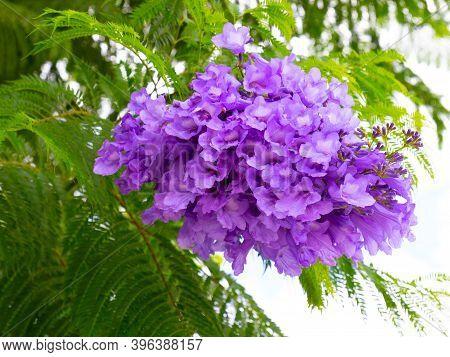 Purple Flowers Of Jacaranda Mimosifolia Also Known As Blue Jacaranda, Black Poui Or Fern Tree