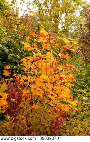 A Seedling Of A Maple Tree In Autumn With Colorful Leaves