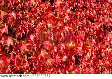 A Facade Of A Building Covered With Climbing Vine With Red Leaves On A Sunny Day In Autumn