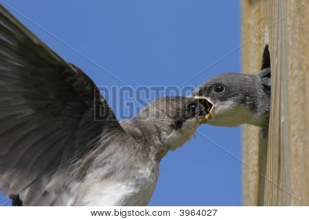 Mother Tree Swallow (tachycineta bicolor) feeding her hungry baby poster