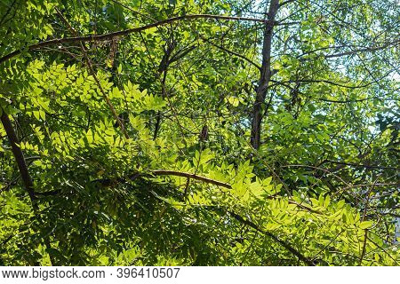 The Rays Of The Hot Summer Sun Shine Through The Bright Green Foliage Of The Elm Tree, Creating A Pi