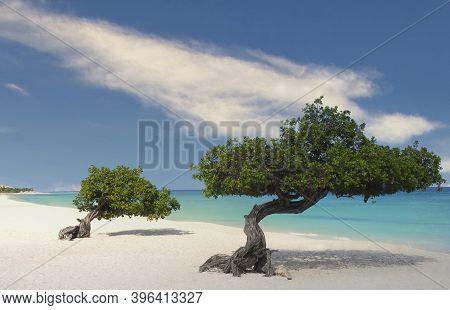 Divi Divi Trees On The Shoreline Of Eagle Beach In Aruba