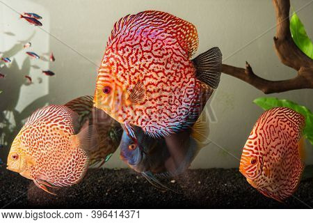 Colorful Fish From The Spieces Symphysodon Discus In Aquarium. Closeup Of Adult Fish