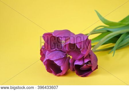 Tulips Flowers. Floral Card Blank. Three Purple Tulips On A Bright Yellow Background.spring Flowers.