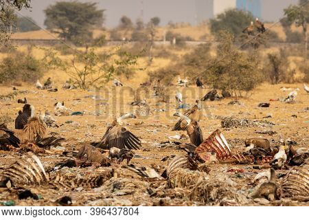 Two Aggressive Eurasian Griffon Vulture In Middle Fighting At Jorbeer Conservation Reserve Bikaner R