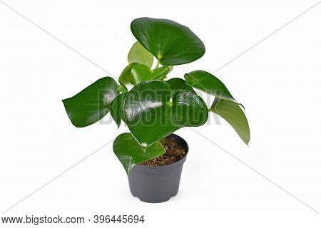 Full Tropical Houseplant With Botanic Name 'peperomia Polybotrya' With Thick Heart Shaped Leaves In