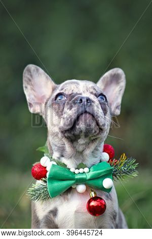 Small Merle Colored French Bulldog Dog Puppy Wearing Seasonal Christmas Collar With Green Bow Tie Lo