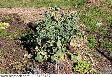 Brussels Sprout Leaf Vegetable Plants With Partially Dry Big Dark Green Leathery Leaves Planted In L