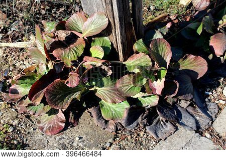 Bunch Of Bergenia Or Elephant Eared Saxifrage Or Elephants Ears Clump-forming Rhizomatous Evergreen