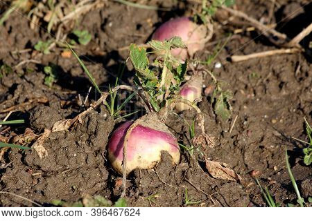 Row Of Small Rutabaga Or Swede Or Swedish Turnip Or Neep Cold Weather Root Vegetable Plants With Vis