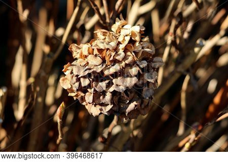 Withered Hydrangea Or Hortensia Garden Shrub With Bunch Of Completely Dry Flowers With Pointy Petals