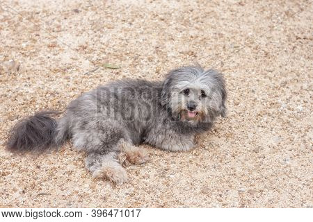 Gray Poodle Dog Is Sitting And Sticking Out The Tongue On Lateritic Soil.