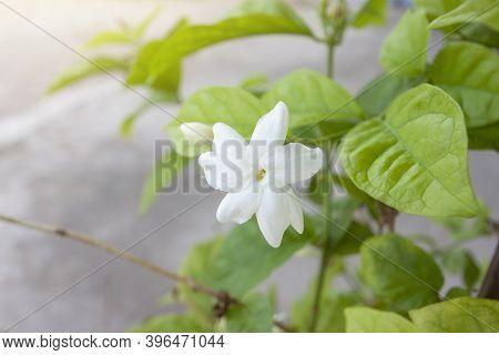 Fresh Jasminum Flower Bloom With Sunlight In The Morning.