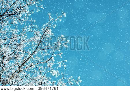 Winter background, snowy tree branches against blue colorful sky during the snowfall, winter background, free space for text. Winter background with frosty winter tree branches, winter snowy background