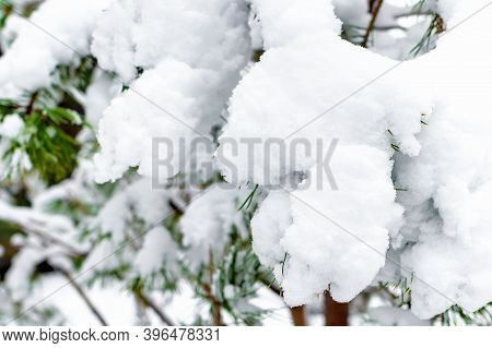 Selective And Soft Focus Of Snow Drifts On Green Spruce Branches. Concept Of Winter And Walks In Nat