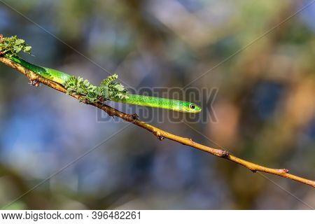 The non-venomous common green snake, Philothamnus, on a tree branch on the banks of Lake Naivasha, Kenya.
