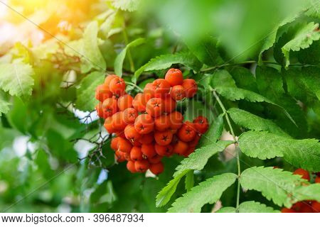 Autumn Rowan Berries On Branch. Red Berries And Leaves On Branch Close Up. Branch Of Ripe Berries Mo