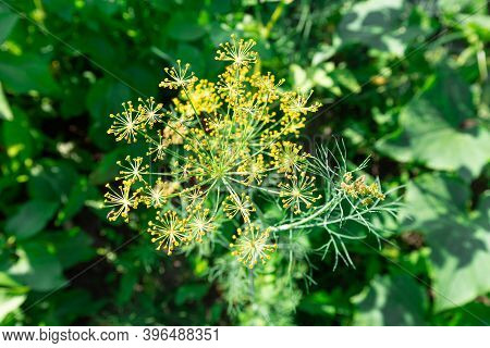 Background With Dill Umbrellas Or Ripening Fennel Seeds. Close Up View Of Fresh Dill Garden Umbrella