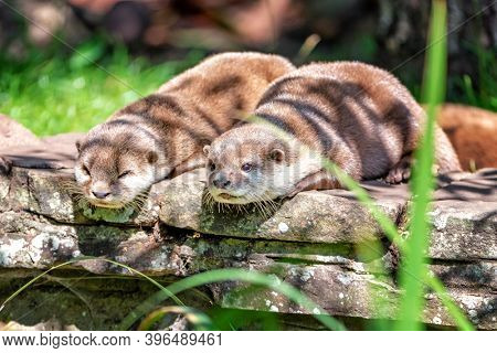 Two attentive Oriental small-clawed otters, Aonyx cinereus, crouched on a stone wall.