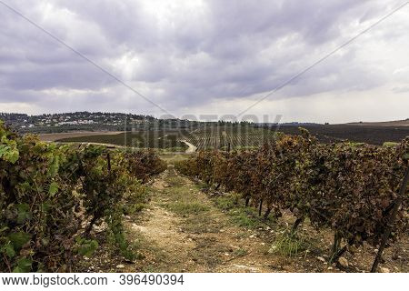 Vineyard With Rows Of Vines Against A Blue Sky With Clouds. Israel