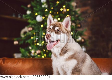 Young Cute Puppy Of Siberian Husky Dog Breed Male Playing And Relaxing On Brown Sofa In Classic Euro