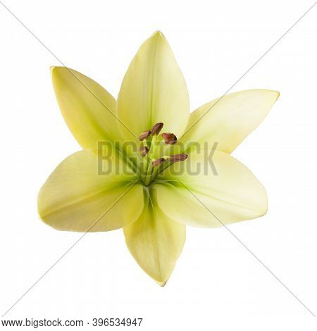 One Yellow Isolated Flower Lily With Drops Water On White Background. No Shadows