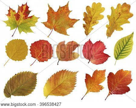 Collection Of Autumn Leaves Isolated On A White Background. Maple And Oak, Elm And Hawthorn, Viburnu