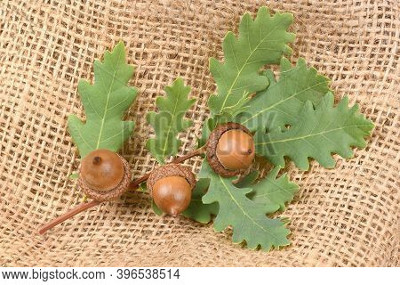 Three Acorn Connected By An Oak Tree Branch. Isolated On Sackcloth Background. High Resolution Photo