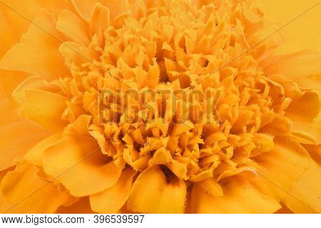 Tagetes Patula. Orange Marigold Flower, French Marigold, Tagetes Erecta, Mexican Marigold, Aztec Mar